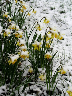 Daffodils covered in snow