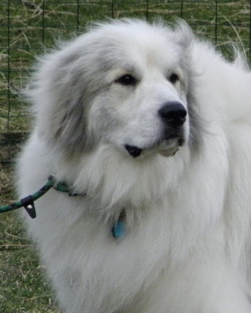 Beautiful! Is there anything more noble than a Great Pyrenees? - Johna Beall Real Estate in Seattle
