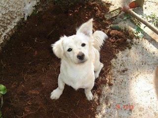 Χάθηκε από Μαρκόπουλο- Πόρτο Ράφτη άσπρο θηλυκό σκυλάκι