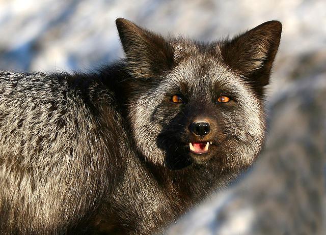 http://1.bp.blogspot.com/-uLutJCn4Qtg/UN9nQvatHOI/AAAAAAAAg2I/G89ImLZvmBQ/s640/silver+fox+1.jpg