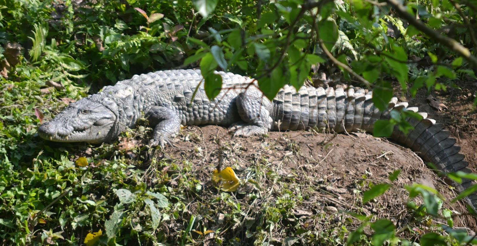 crocodile chitwan nepal