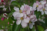 Apple blossom on the Bramley. Embryo Apple crumble!