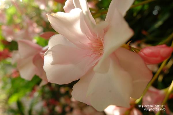Macro fotografia del fiore di oleandro