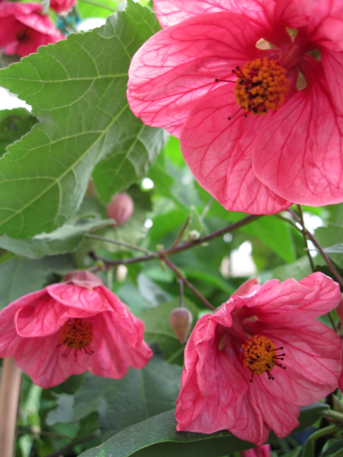 Abutilon our plant pick of the month sloat garden center abutilon also known as chinese lantern or flowering maple is a favorite in our climate they will flower continuously from late spring through fall mightylinksfo