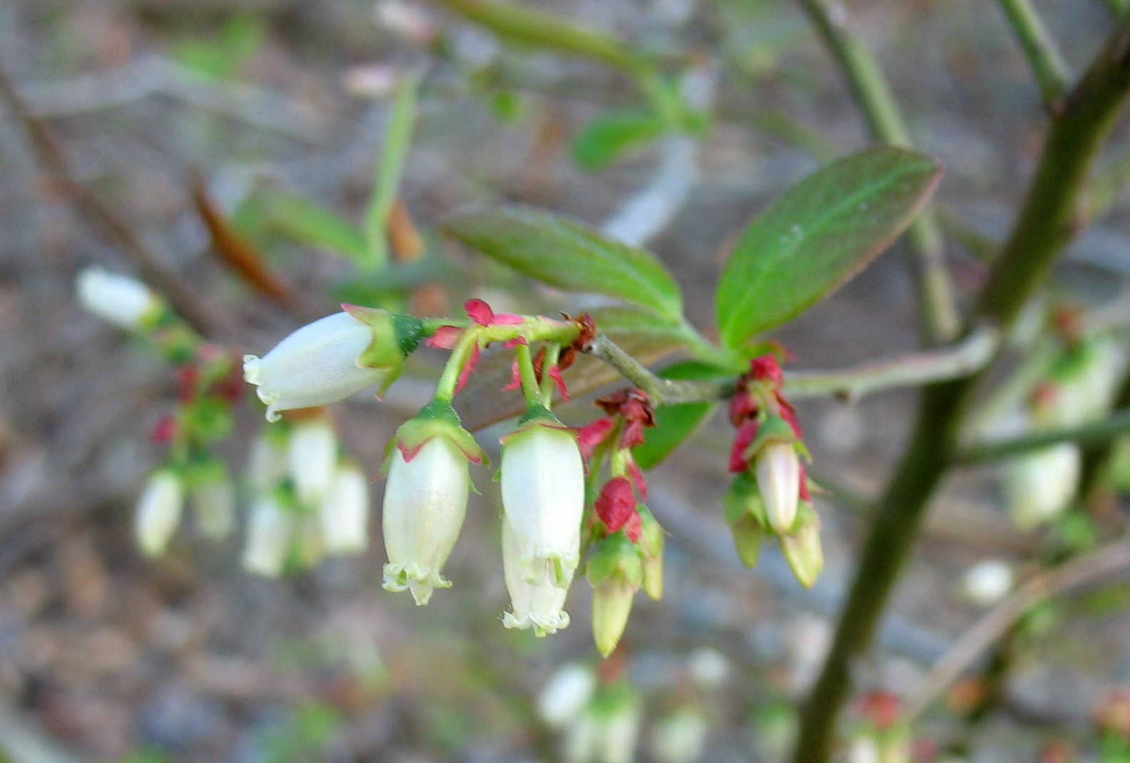 Using georgia native plants why arent you growing blueberries the flowers are beautiful in early spring izmirmasajfo