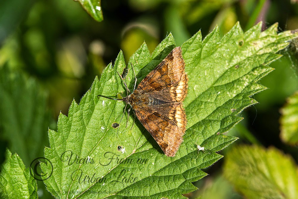 Burnet Companion - Loughton Valley Park, Milton Keynes