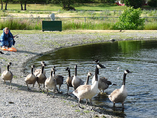 Canadian Geese with their off-springs at Park pond