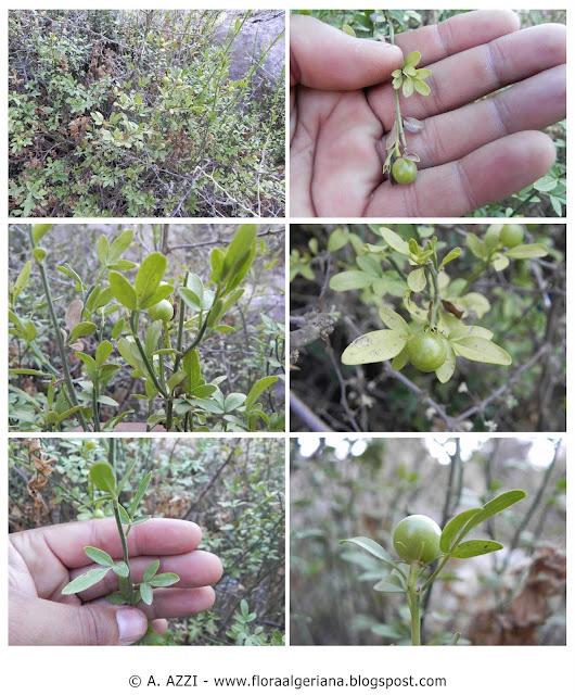 00057-20110815; Sc : Jasminum fruticans; En : Wild jasmine; Fr : Jasmin d'été