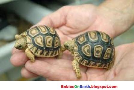 Marginated Baby Tortoises Baby Marginated Tortoise