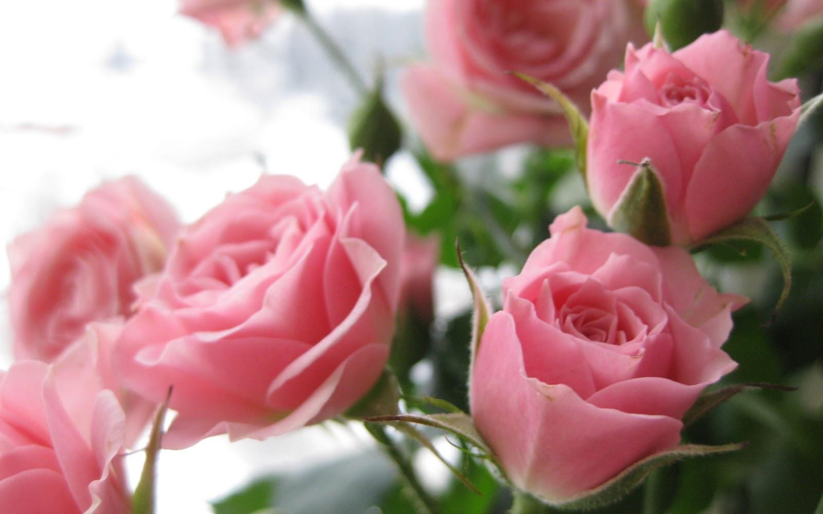 Imagens de Fundo: Rosas cor-de-rosa: imagens-de-fundo.blogspot.com/2012/04/rosas-cor-de-rosa.html