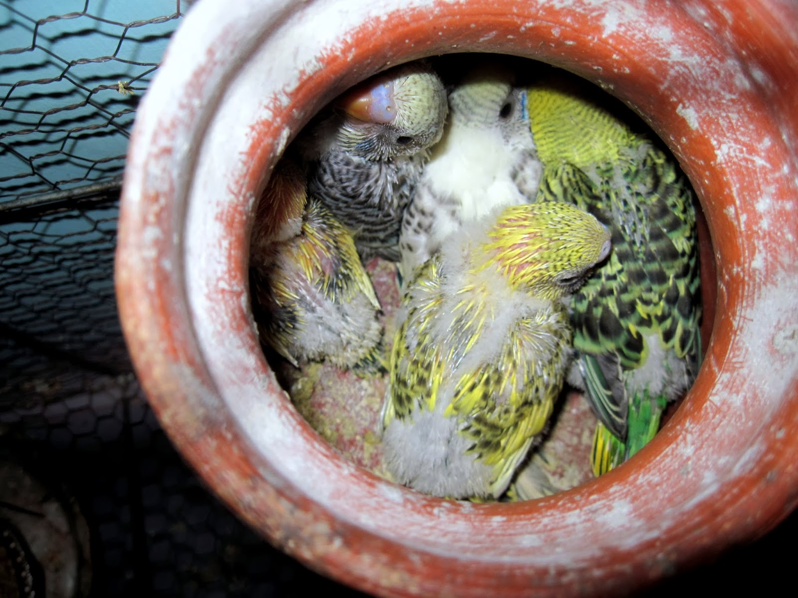 how to stop budgies breeding