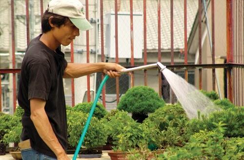 El bonsai de arce el cultivo del bonsai - Cultivo del bonsai ...