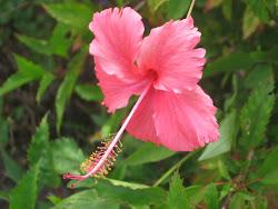 Wild hibiscus.