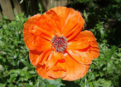 Last blooming poppy...