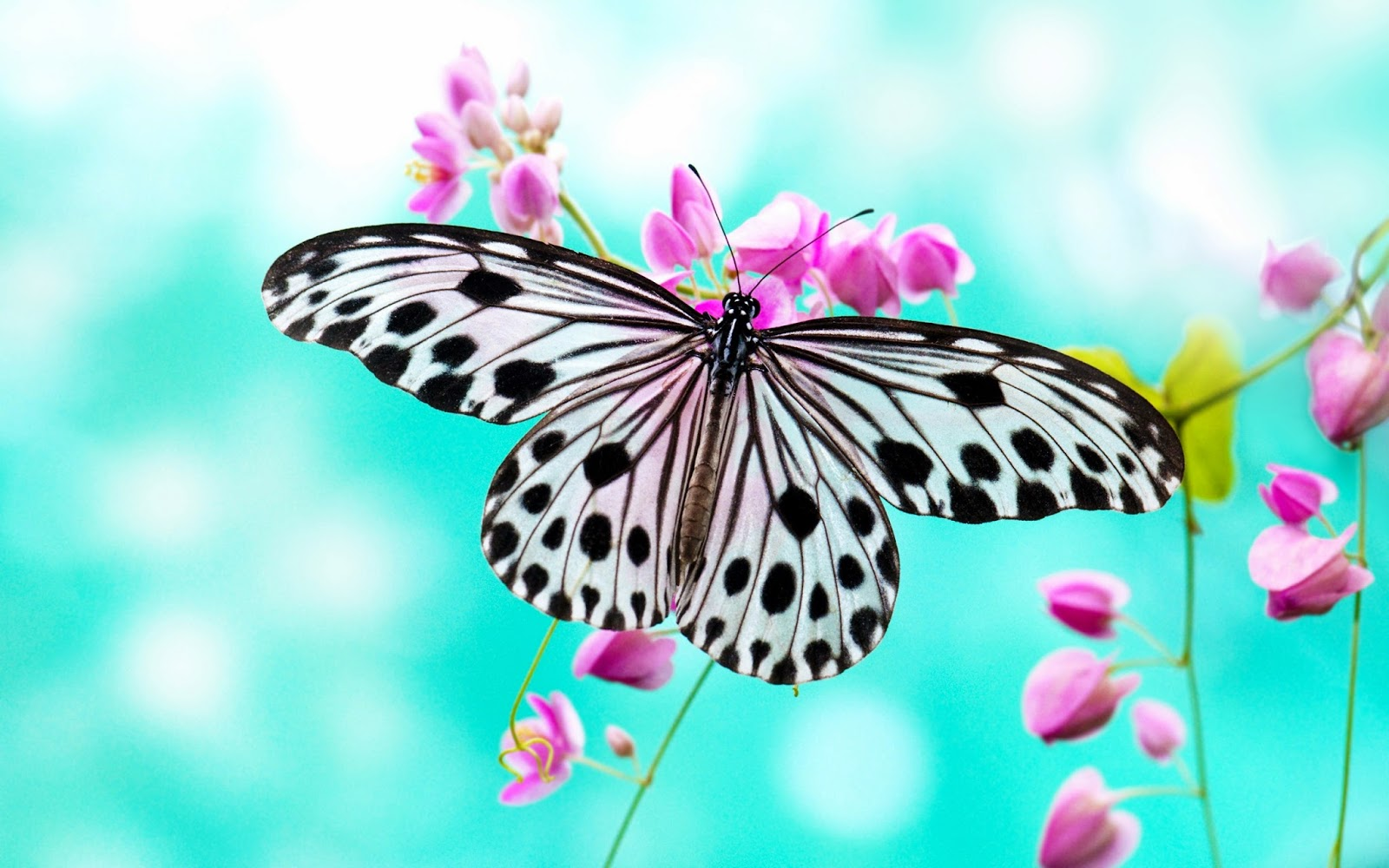 Butterfly wallpapers hd beautiful wallpapers collection 2014 for Butterfly in a flower
