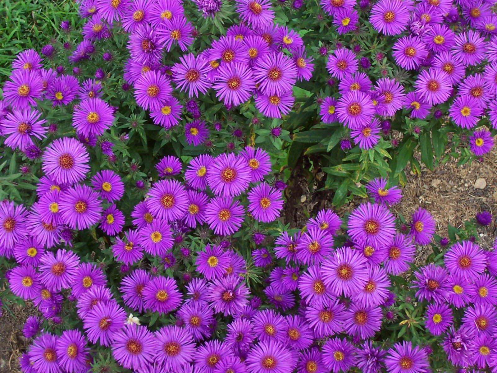 ... Aster Flowers Desktop Backgrounds, Aster Flowers Photos,Aster Flowers: wallpapers-xs.blogspot.com/2013/02/aster-flowers-wallpapers.html