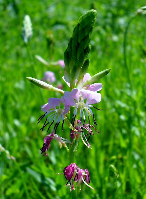 Limestone Gaura (Gaura Calcicola) wildflower at White Rock Lake, Dallas, Texas