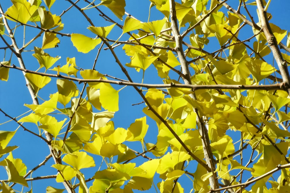 Yellow fall ginkgo leaves by Paul Jung Gardening Services in Toronto