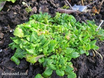 Primula, примула, весна, веcной, ростки, черенки, аленин сад, aleninsad