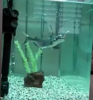כריש פארון טורף תולעים חיות