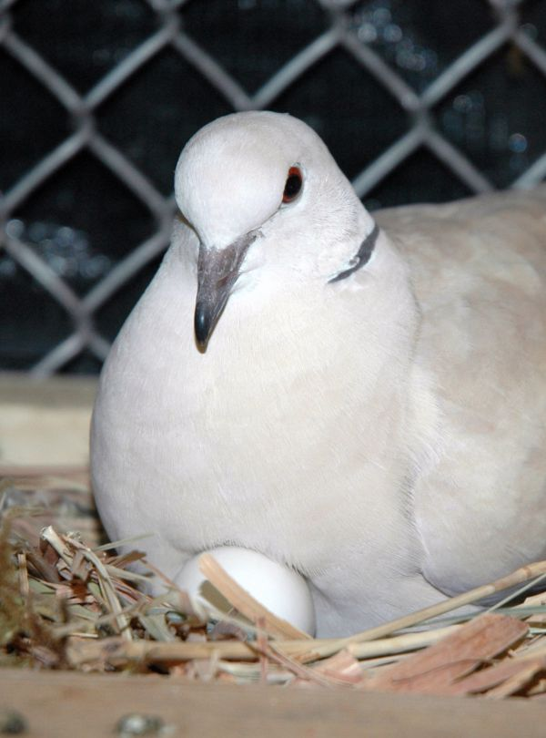 ring-necked dove sitting on egg