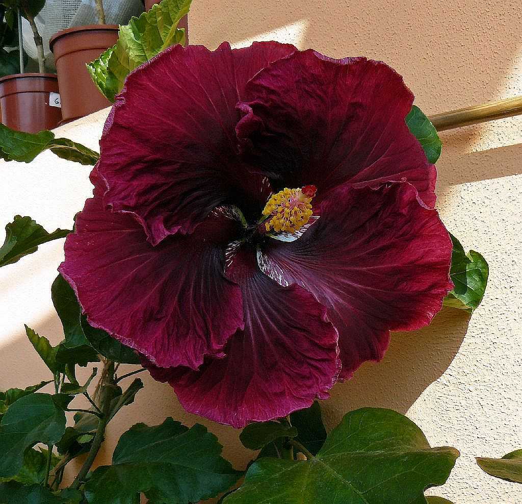 Plantas do meu jardim hibisco black dragon for Hibiscus arbol
