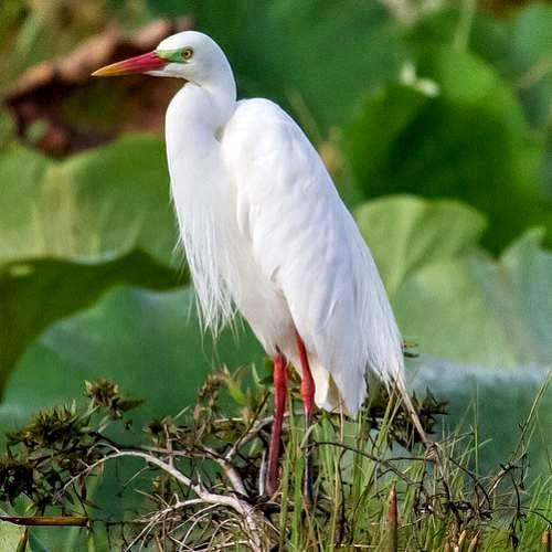Indian birds - Intermediate egret - Ardea intermedia