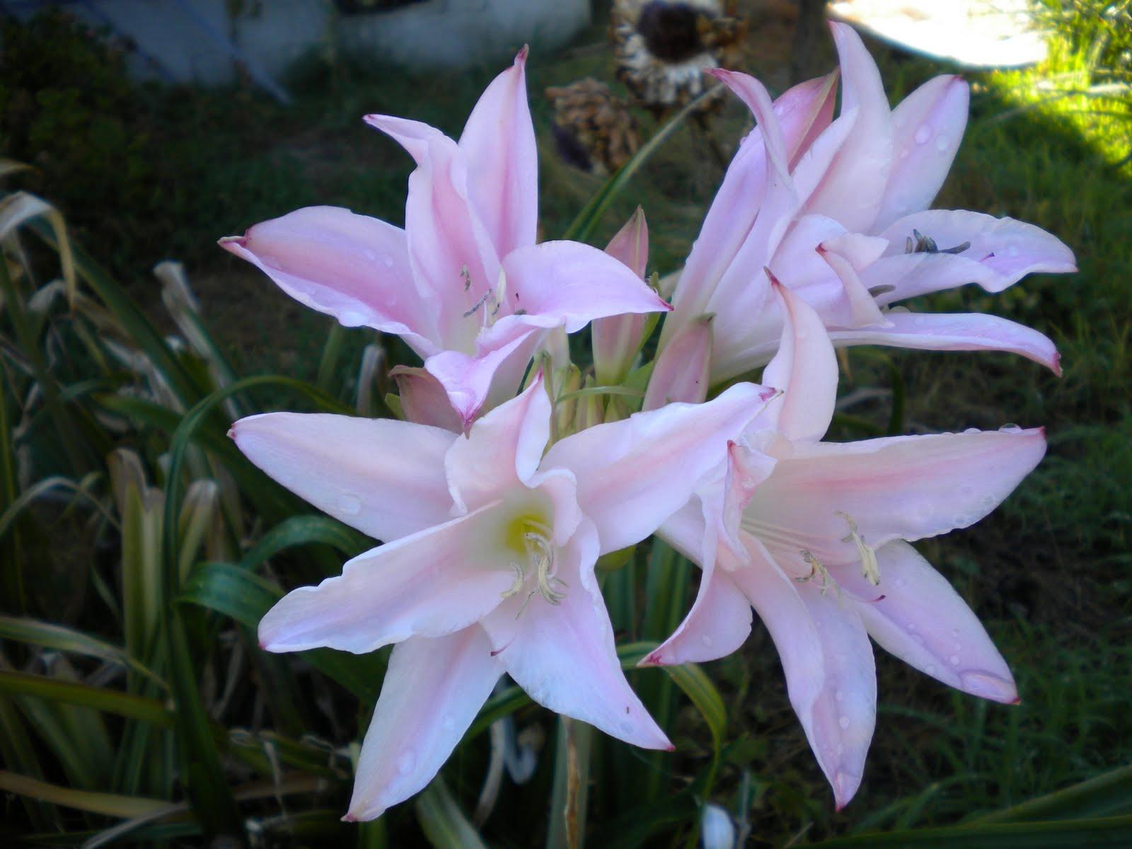 Tending The Veggies Sweet Smelling Lilies