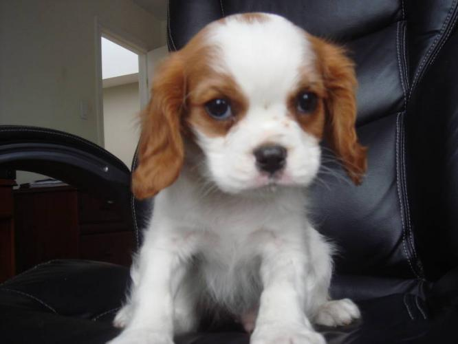 Cavalier King Charles Dogs For Sale In Pa