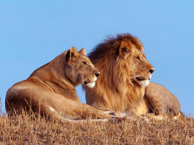 Wild lions nearing extinction (Video)