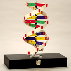 Unseen rare collection dna model projectmoleculemutationlabeled dna molecule model unseen rare photos ccuart Images