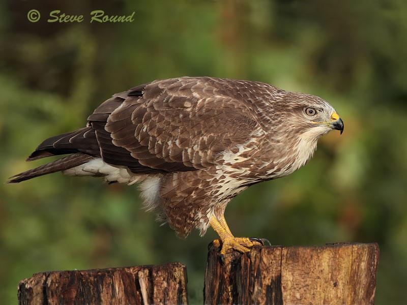 common buzzard, buzzard, raptor, bird, bird of prey