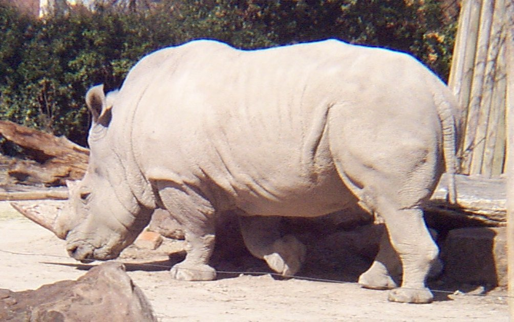 white rhino - photo #16
