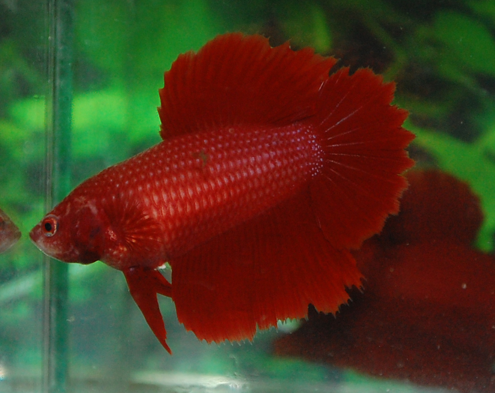 Betta fish afira halfmoon super red skyhawk female big dorsal for Red betta fish