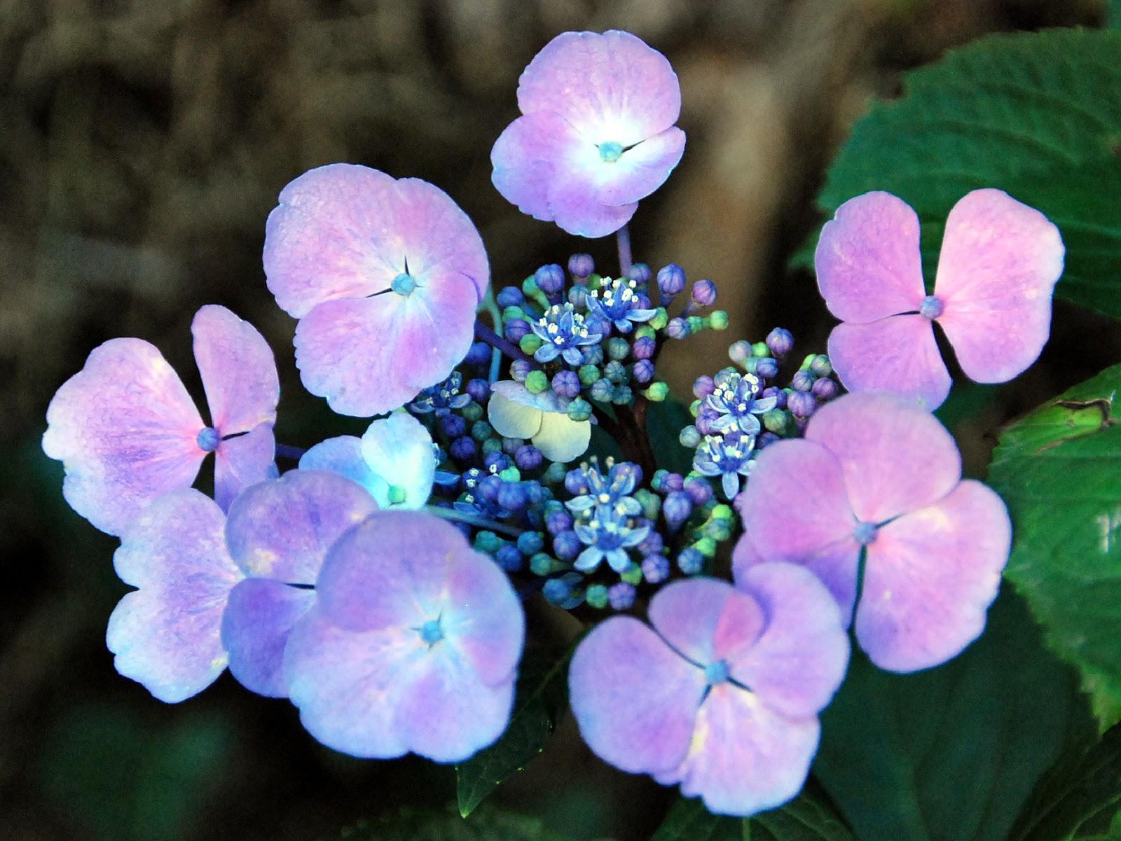 Fotos De Flores Las Flores De La Hortensia - Color-de-las-hortensias