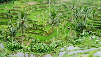 Rizières en terrasses à Ubud, holiday in Ubud, vacances à Bali