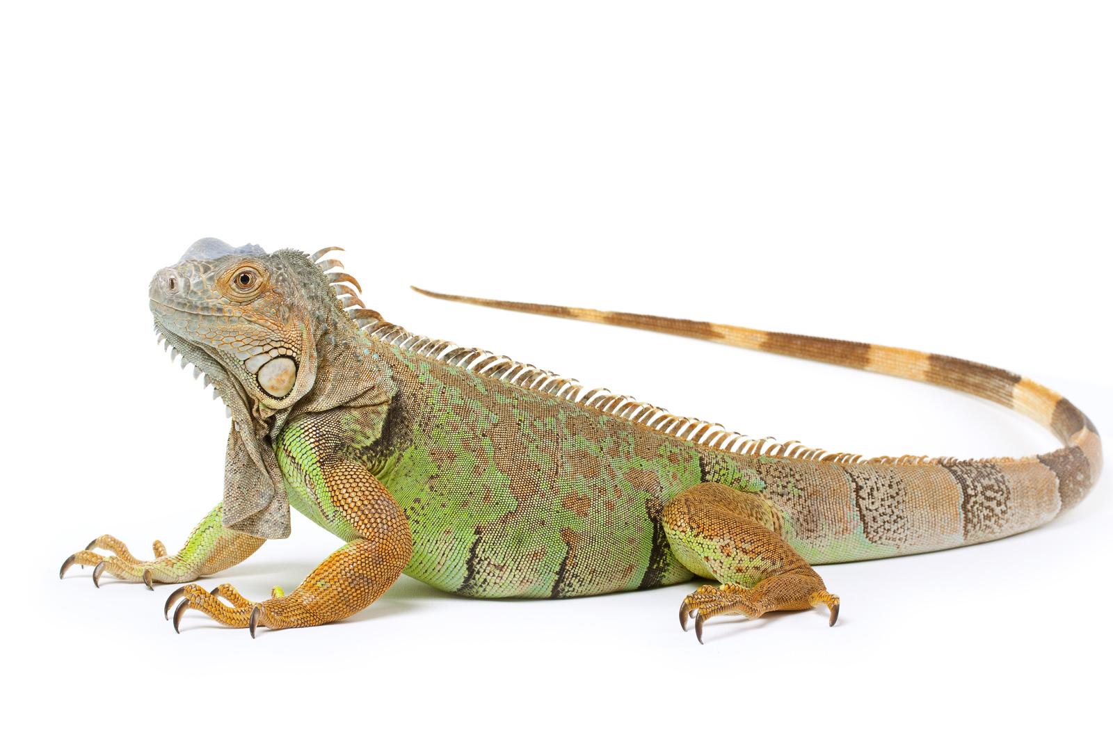 image gallery iguana background