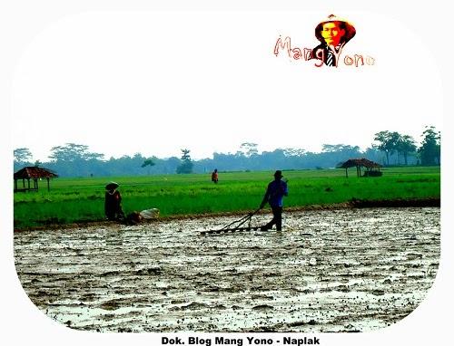 Naplak membuat garis agar tanaman padi lurus