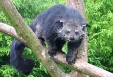 Binatang ini kakinya ada lima.. : Arctictis binturong...!!! | indonesiatanahairku-indonesia.blogspot.com/
