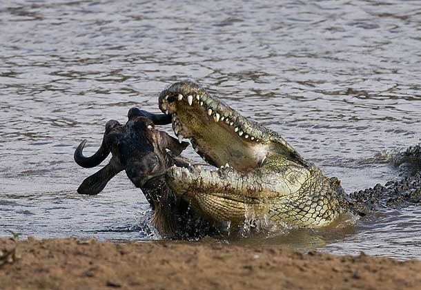 Saltwater crocodile attacks tiger - photo#14