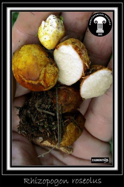 Rhizopogon roseolus (Corda) Th. Fr.
