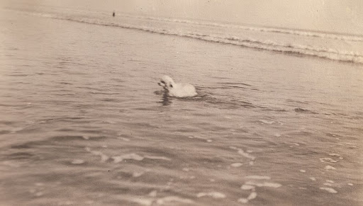 Poodle at New York beach about 1921 from album of Mary Theresa Sheehan Killeen Walsh