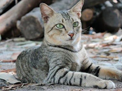 foto kucing kampung lucu 08