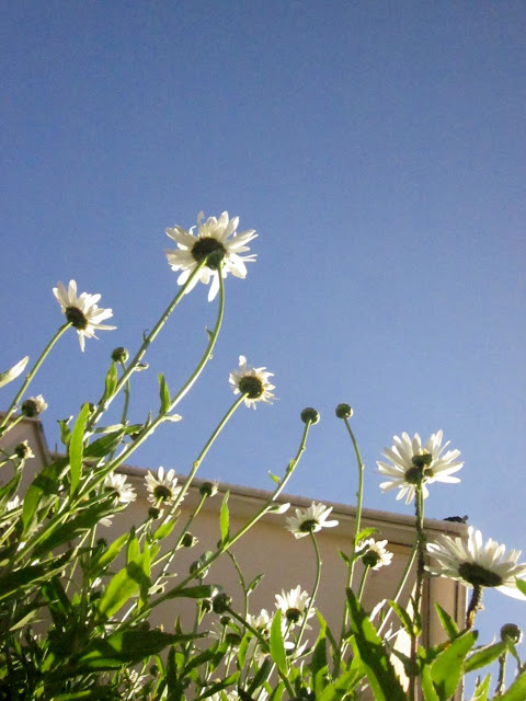 Ox-eye daisies from below