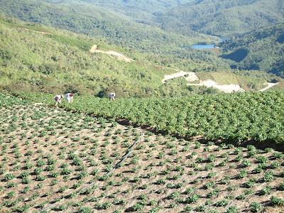 Agricultores cosechando fresas en las montañas de El Jarillo