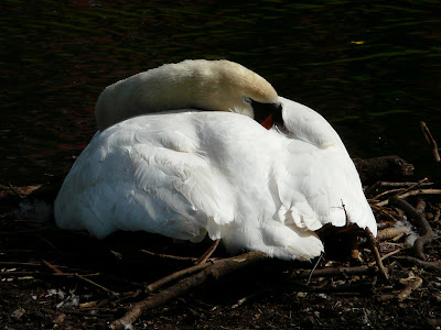 Mute Swan (on nest), Greenbank Park