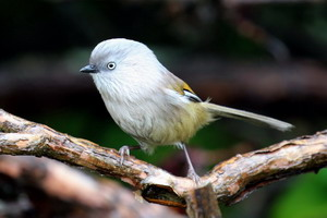 Gray-hooded Fulvetta
