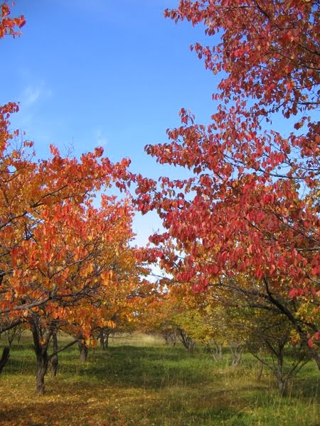 Fall Apple Trees