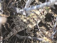Horned lizard on Warren Point Trail, Joshua Tree National Park