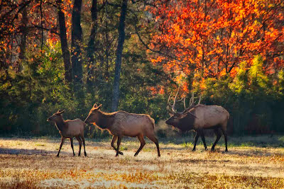 Rutting Bull Elk, Buffalo National River October 2012